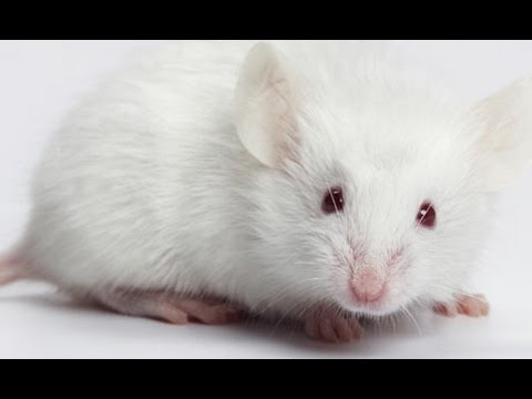 Mice Successfully Injected With Human Brain Cells