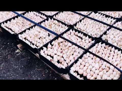 Выращивание тюльпанов к 8 марта.