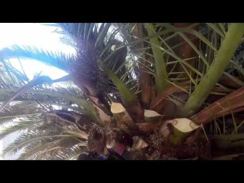 Castelan tree service- phenix date palm
