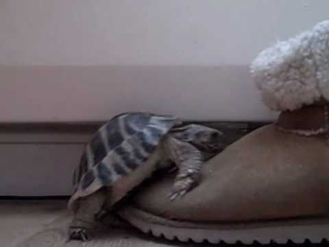 Turtle having sex with a boot