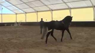Видео уроки выездка лошади. Ланкастер Диамант. Вожжи. 5 ое занятие