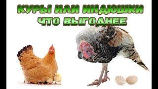 Птицеводство как бизнес для семьи. Индюки или куры ?! что выгодней держать новичку.