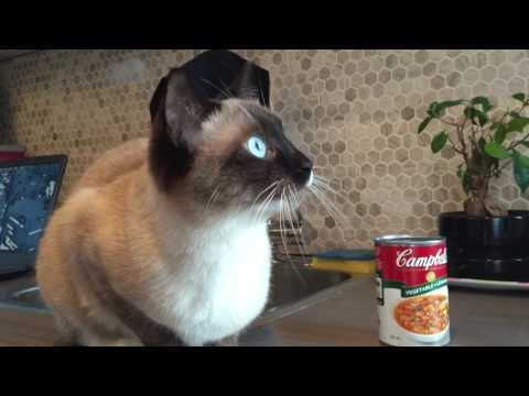 Adorable Siamese Cat Chirping