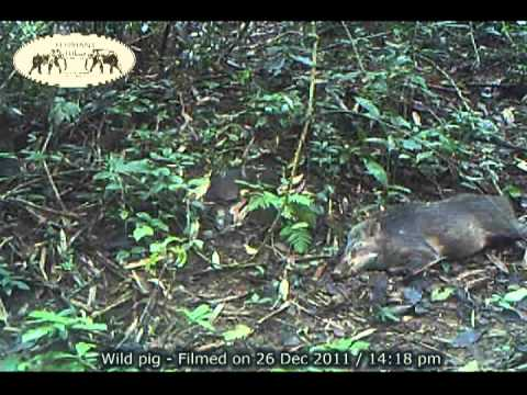 Wild Boar - Elephant Hills and Rainforest Camp