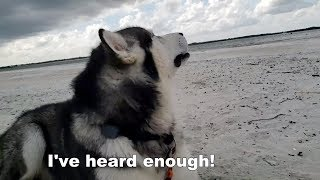 Mad Malamute Argues With Owner | Protects Husky Puppy From Bull Dog