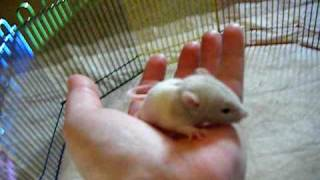 17 day old rat babies playing