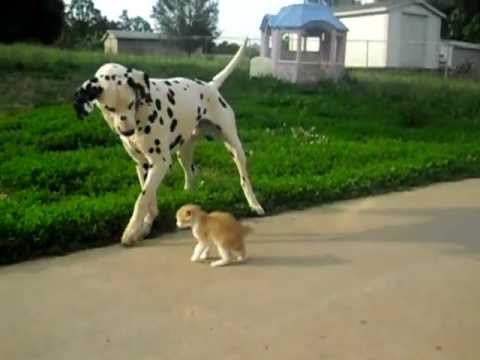 Thumbnail for Cat Video Dalmatian Dog Makes Kitten Friend