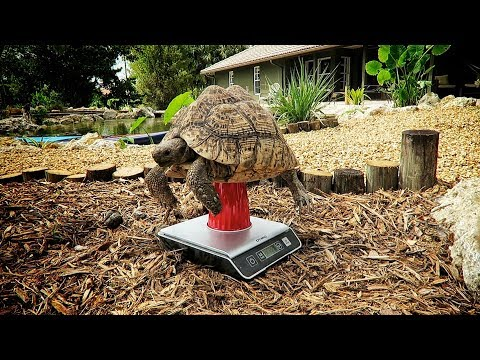 Guess a Leopard Tort's Weight & Sulcata Space requirements!