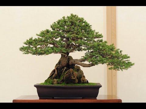 Bonsai Tree Shapes Bonsai Tree