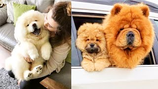 ALL ABOUT CHOW CHOW DOG BREED || Petz World