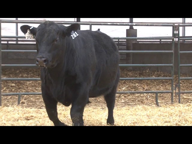 Schiefelbein Angus Farms Lot 281
