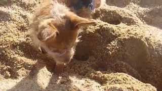 Chihuahua Dog Digging A Hole In The Sand.... Perrito Haciendo Un Hollo