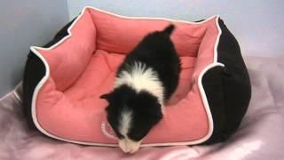生年月日:2013/12/13 性別:♀ カラー:ブラック&ホワイト.