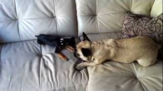 French Bulldog Vs. Chihuahua Miniature Pinscher