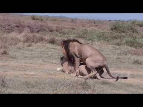 HD. L'accouplement du lion.