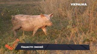 Нашестя свиней | Контролер