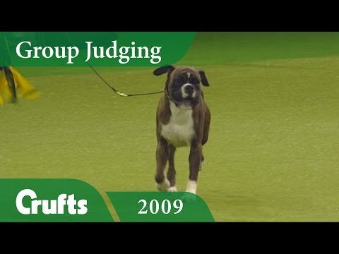 Boxer wins Working Group Judging at Crufts 2009 | Crufts Classics