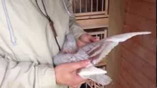 Racing pigeons for sale 2