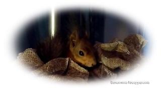 Ноби заправляет свою кроватку. Tame squirrel Noble
