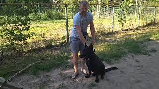 Дрессировка собак -Восточно-европейская овчарка Неффи 8 мес.Дрессировщик Олег
