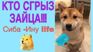 Кто сгрыз зайца.  Сиба-Ину life. Японский охотник в доме. Жизнь домашней собаки.