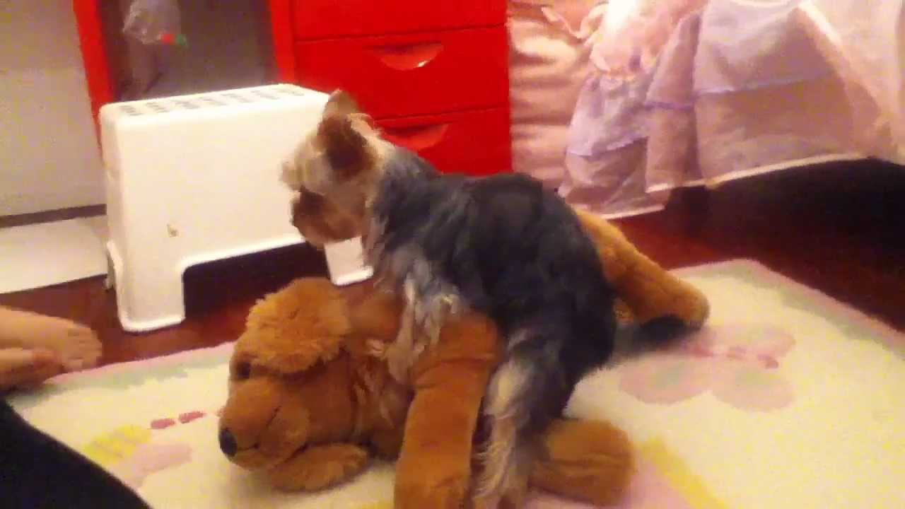 Girl Yorkie Humping Stuffed Animal Youtube