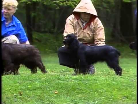 Field Spaniel - AKC Dog Breed Series