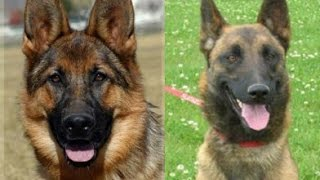 Berger Belge Malinois VS Berger Allemand