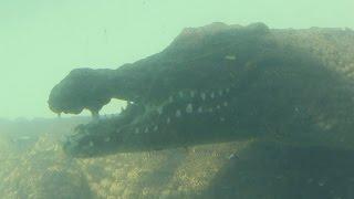 Новый вид спорта: ныряние в клетке к крокодилам  (новости)