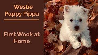 Westie Puppy Pip's First Week Home