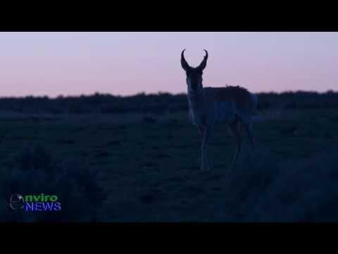 Rare Wildlife Footage: Bull Antelope Strolls Through Sage Grouse Lek During 'Ritual Mating Dance'