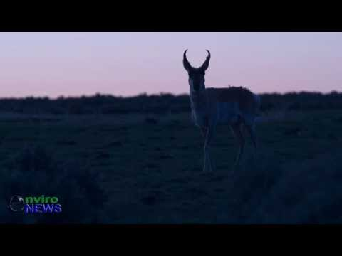Rare Wildlife Footage: Bull Antelope Strolls Through Sage Grouse Lek During