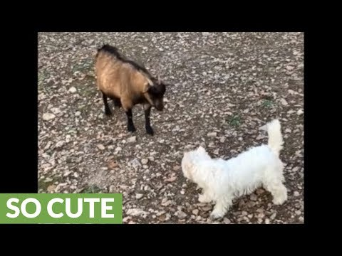 Westie & goat besties chase each other all over the farm