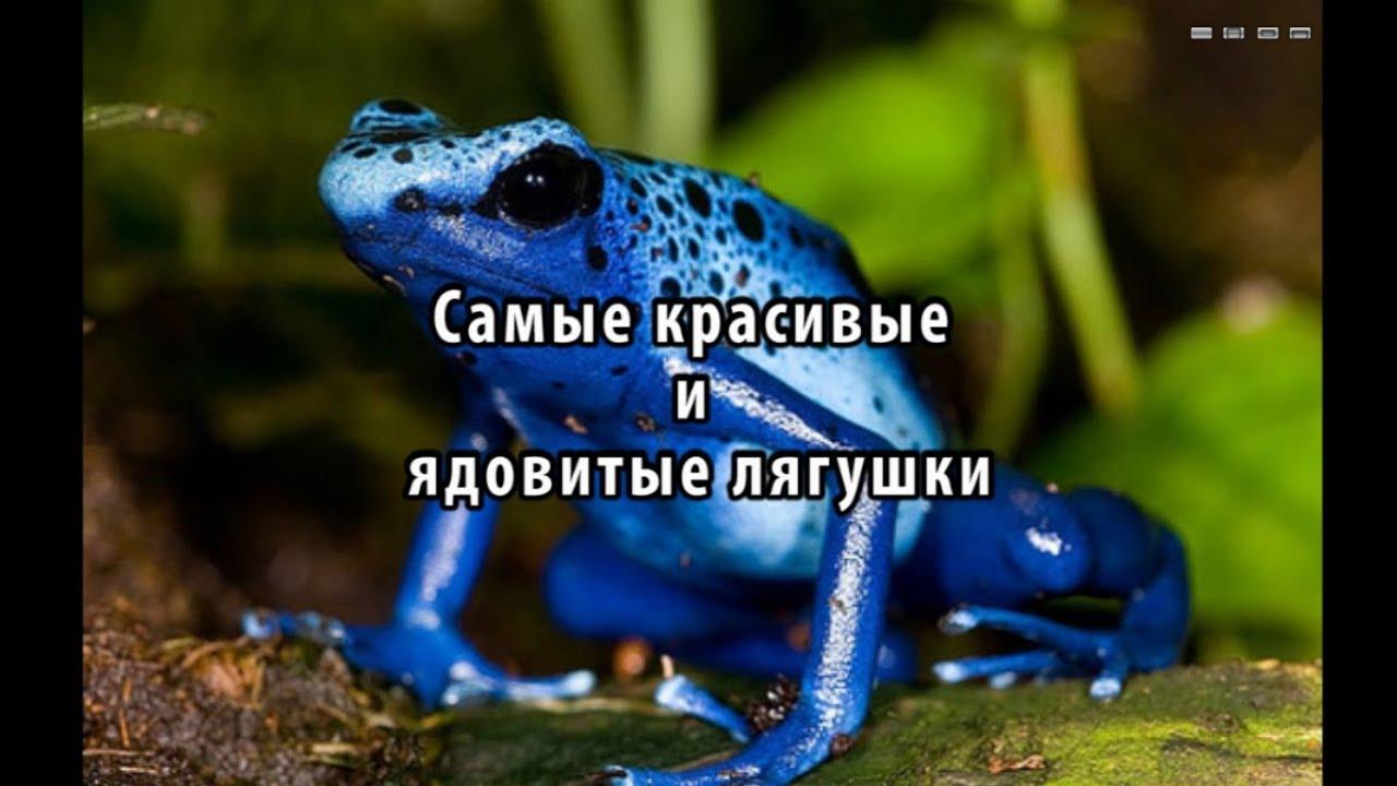 Самые красивые и ядовиты лягушки