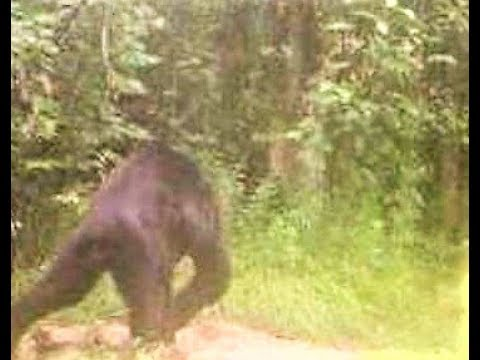 Bigfoot Enigma