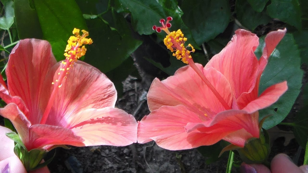 How To Pollinate Tropical Hibiscus Flowersplants Youtube