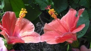 How to Pollinate Tropical Hibiscus flowers/plants