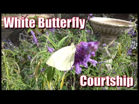White Butterfly Courtship