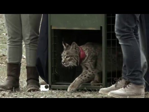 Mesta, Iberian Lynx released