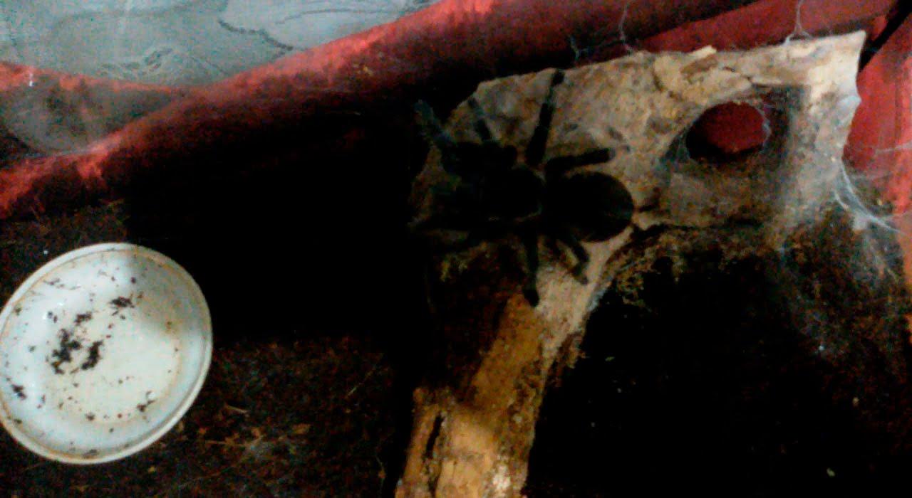 Домашний паук птицеед brachypelma albopilosum - YouTube