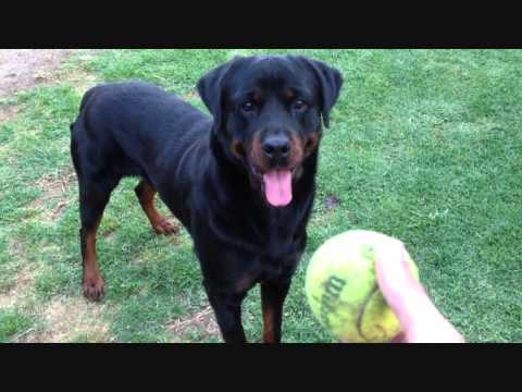 How I play ball fetching game with my Rottweiler Dog