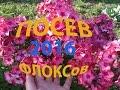 ПОСЕВ флоксов (однолетних) 11 апреля 2016 год