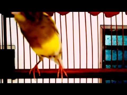 Download Lagu Burung kenari juara 1 kontes 2017 bersuara merdu dihargai 250 juta