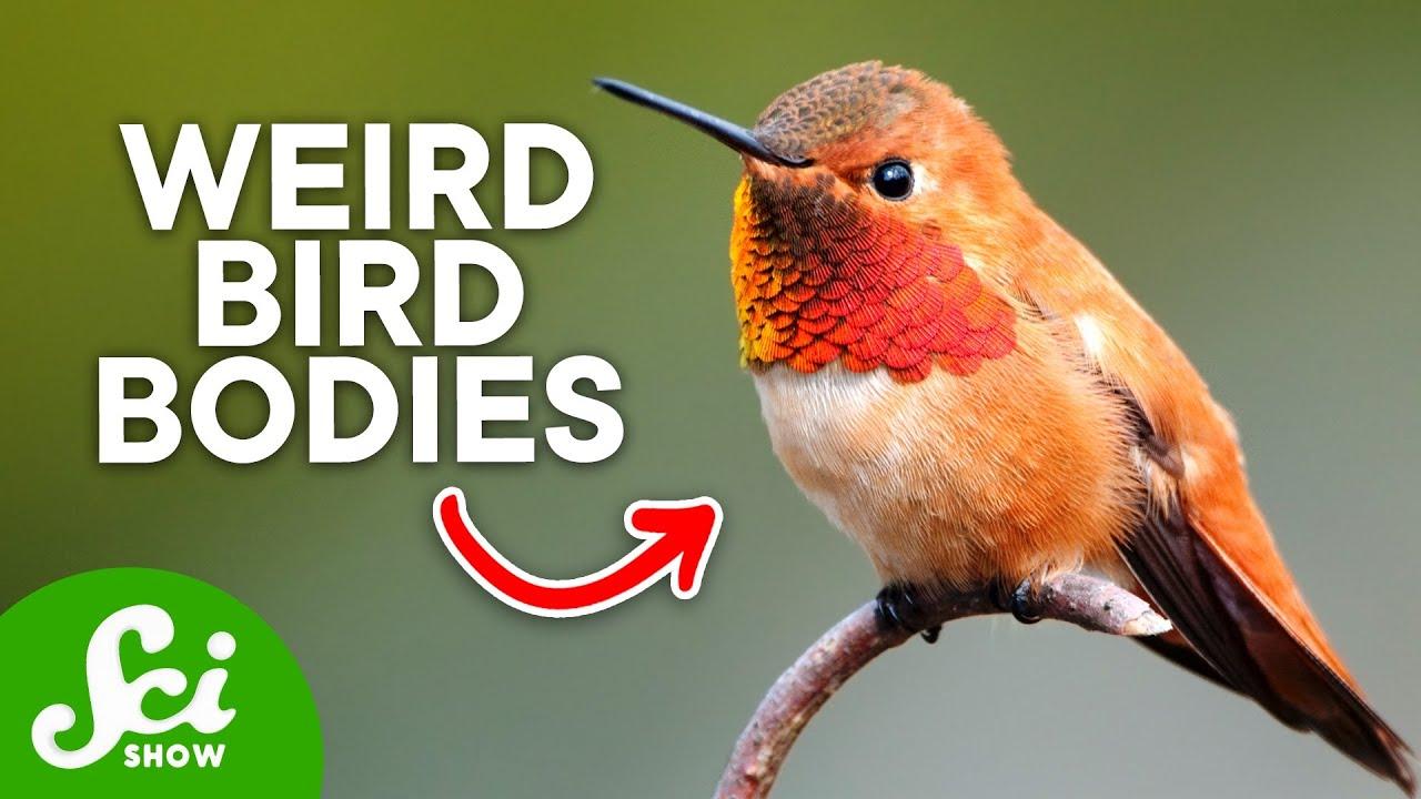 The Strange Anatomy of Hummingbirds - YouTube