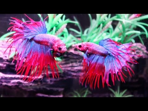 The Most Beautiful Betta Fish Youtube