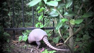 Armadillos in My Backyard, Windsor Lakes, The Woodlands, Tx