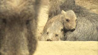 Chacoan Peccary Babies Get Frisky at the San Diego Zoo