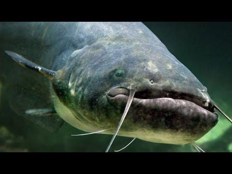 ЧЕРНОБЫЛЬСКИЕ РЫБЫ-МУТАНТЫ / Как на ЧАЭС рыбу выращивали