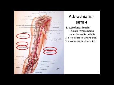 Артерии верхней конечности. Дуга ладони артериальная