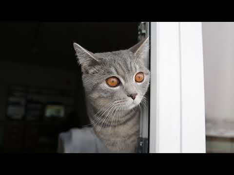 British Shorthair Cat - Tommy to the window
